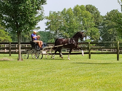 5 year old Dutch Harness Horse
