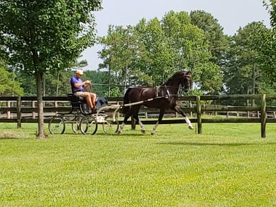 11 year old Dutch Harness Horse